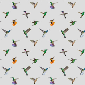 Hummingbirds of T and T - Grey