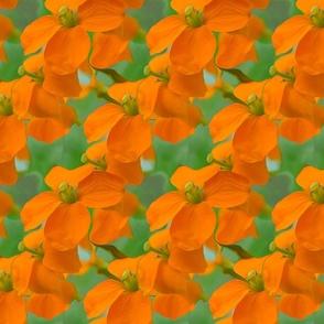 Orange Green Poppy