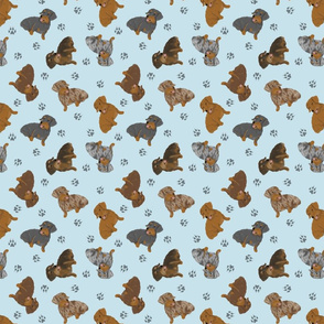 Tiny Wirehaired Dachshunds - blue