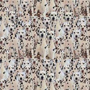 Dalmatians All Over