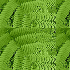 close_up_of_Mimosa_tree-ed-ed