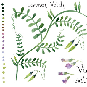 Common Vetch Watercolour Wall Hanging