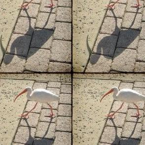 Ibis, S