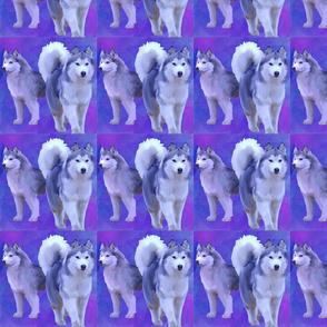 siberian huskies on blue