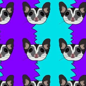 Black beauty sugar glider on blue and purple background