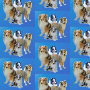 Shelty family on Blue Background