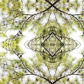 Spring Pine Tree Branch