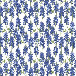 Small Scale Texas Bluebonnet Botanical Illustration