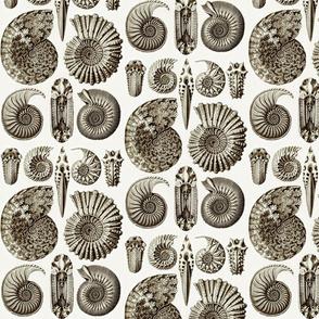 Haeckel Ammonitida Ammonite