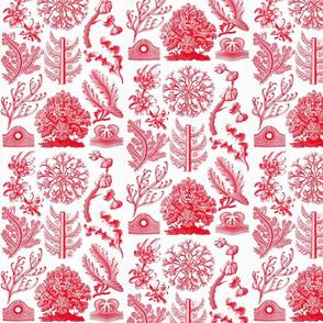 Ernst Haeckel Florideae Red Algae