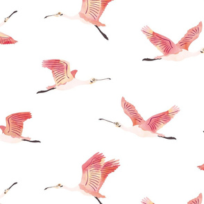 Roseate Spoonbills on white