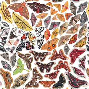 Saturniid Moths of North America