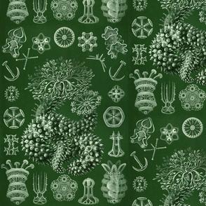 Ernst Haeckel Thuroidea Sea Cucumber