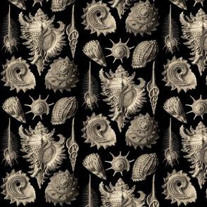 Ernst Haeckel Prosobranchia Sea Shells