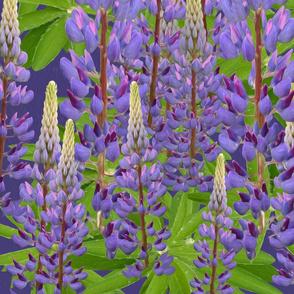 Lupin purple