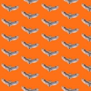 Soaring Long Eared Owls in Orange