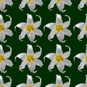 Avalanche Lillies