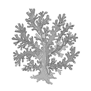 Coral Silver