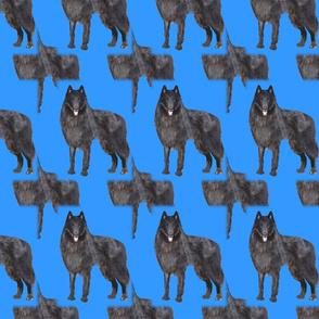 belgian sheepdog  shadow pattern