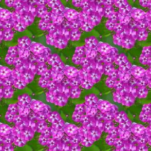 Phlox Purple pink