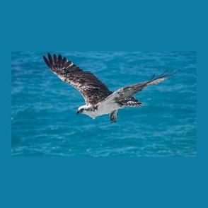 PH_079_A Flying Osprey Against Ocean on Blue