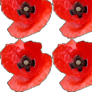 Poppies on white background 1a