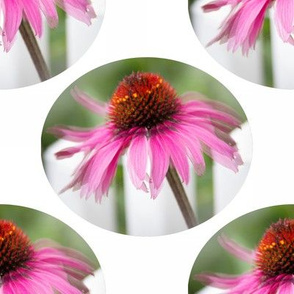Coneflower-dancing in Oval