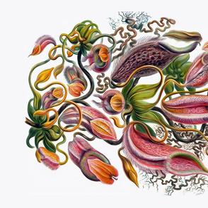 Haeckel's Nepenthaceae