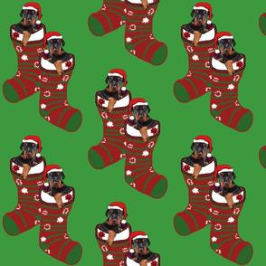 doberman puppies  in stockings