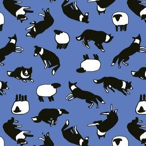 Border collies + sheep blue