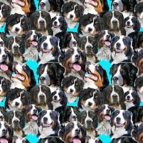 bernese mountain dog blue background