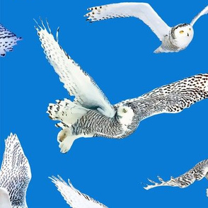 Snowy Owls of Arctic on Blue