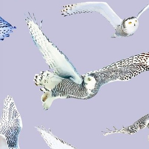 Snowy Owls of Arctic on Lila