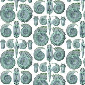 Ernst Haeckel Ammonitida Ammonite Sea Glass