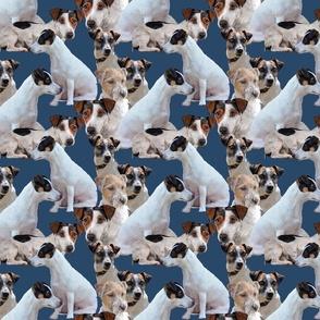 jack russell terriers2