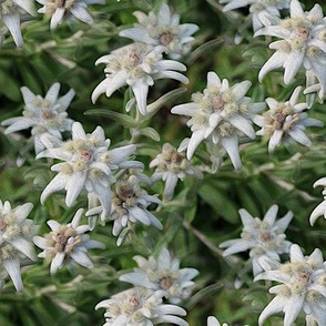 famous edelweiss - painting effect