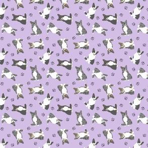 Tiny merle and black Cardigan Welsh Corgi - purple