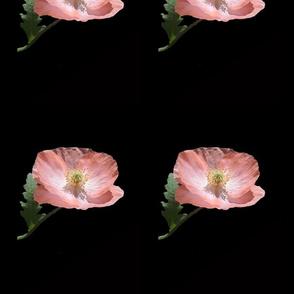 edited poppy