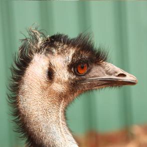 Emu, side view by Su_G_©SuSchaefer