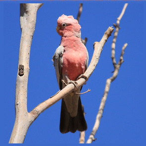 """Galah (for FQs in 42"""" fabrics) by Su_G_©SuSchaefer"""