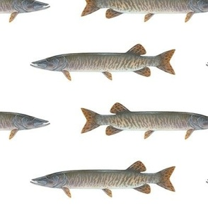 muskellunge on white