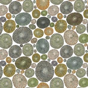 Opihi Shells on White background