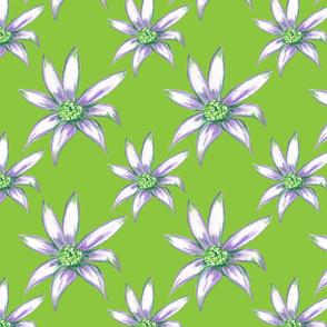 Flannel Flower In Green