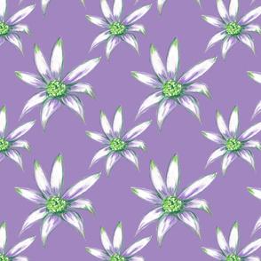 Flannel_flower_in_purple