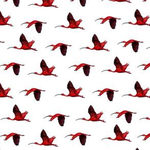 Scarlet Ibis - white