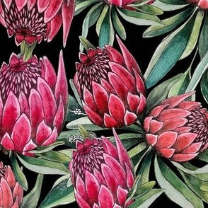 Protea flowers in pink and red watercolor on black, great botanical tropical floral wallpaper and fabric or décor.