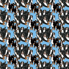 Bernese Mountain Dogs blue background
