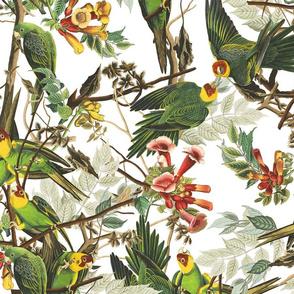 Audubon Carolina Parrot