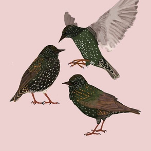 Starlings on Pink Background
