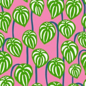 Watermelon Peperomia - Pink